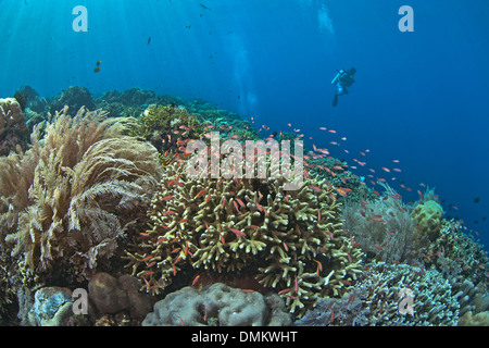 Scuba Diver se cierne sobre anthias arrecifes de coral con peces tropicales.