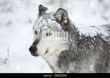 Lobo gris - cierre con nieve Canis lupus MA002934 cautivos