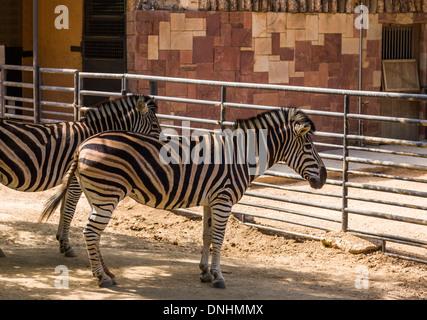 Cebras de Chapman (Equus quagga chapmani) en un zoo, el Zoo de Barcelona, Barcelona, Cataluña, España