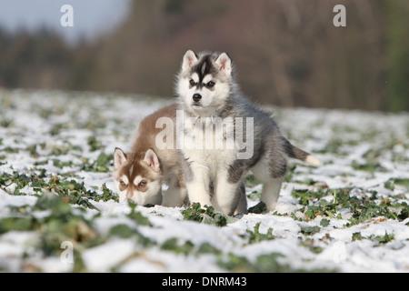 Perro Husky Siberiano dos cachorros de pie en la nieve.