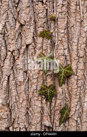 Hedera helix aferrándose a la corteza de un árbol viejo.