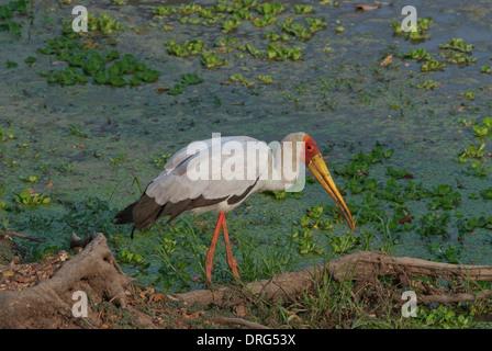 Cigüeña de pico amarillo (Mycteria ibis) caza en el borde de un lago. El pájaro ha cogido una rana, que es visible Foto de stock