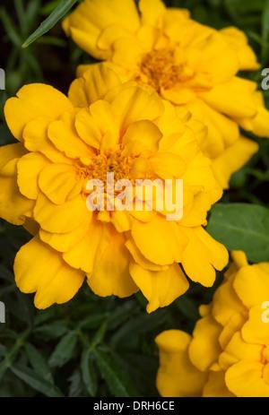 Marigold (Tagetes patula) una especie de la familia de Margarita (Asteraceae).