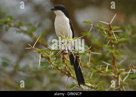 Long-tailed Fiscal (Lanius cabanisi) Foto de stock