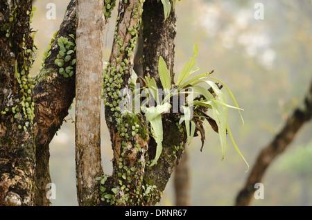 Hermosa Bird's Nest (Asplenium nidus Helecho) en bosques de Tailandia
