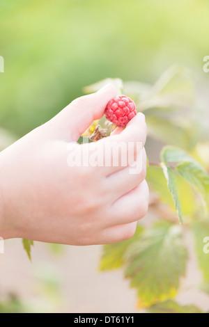 Cerca de la mano del niño recogiendo frambuesas maduras a Bush en el jardín, con espacio para copiar el espacio. Foto de stock