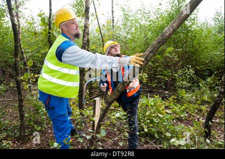 Dos jóvenes leñadores talar un árbol de abedul.