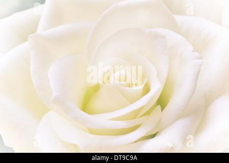 Hermosa rosa blanca romántica con un corazón verdoso a la vista y luz natural