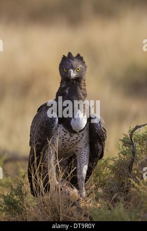 El Águila marcial (Polemaetus bellicosus) adulto con presas en garras sobre tierra en sabana seca Reserva Nacional Foto de stock