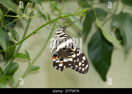 Papilio demoleus, Cal butterfly Foto de stock