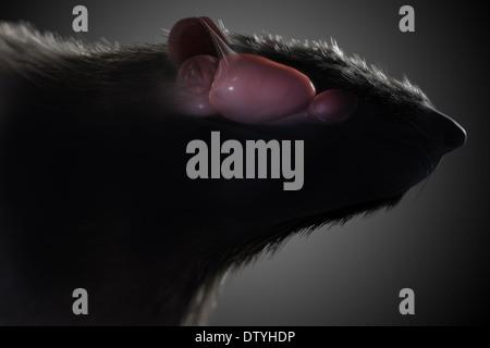 Anatomía del cerebro de rata Foto & Imagen De Stock: 66989811 - Alamy