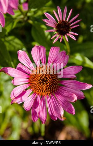 Close-up de Coneflower púrpura rosa en flor