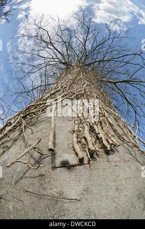 Imponente árbol haya madura una vez cubiertos de hiedra maduro ahora muertos por corte a través de muchos tallos gruesos poda drástica medida