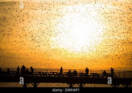 Aberystwyth, Gales, Reino Unido. 8 de marzo de 2014. Bandadas de estorninos volando para posarse sobre las piernas de hierro fundido de la victoriana seaside pier en Aberystwyth en la costa oeste de Gales en el Reino Unido. Al final de un día soleado, cálido, con temperaturas en el Reino Unido llegando a 18C, la gente al final del muelle, disfrutar del atardecer en Cardigan Bay y el de las aves murmuration photo credit: Keith morris/Alamy Live News