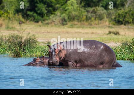 Hipopótamo (Hippopotamus amphibius), Parque Nacional de Murchison Falls, Uganda, África oriental, África