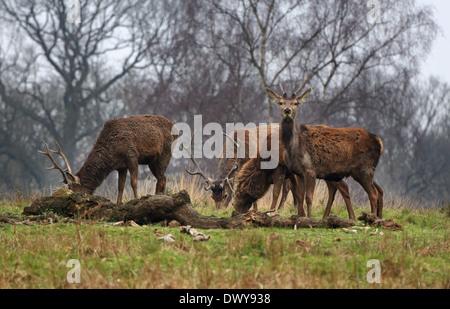 El ciervo rojo en el Parque Inglés de ciervo colorado (Cervus elaphus)