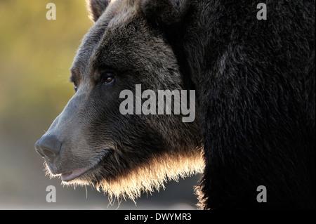 Oso grizzly (Ursus arctos horribilis) retrato con luz de fondo.