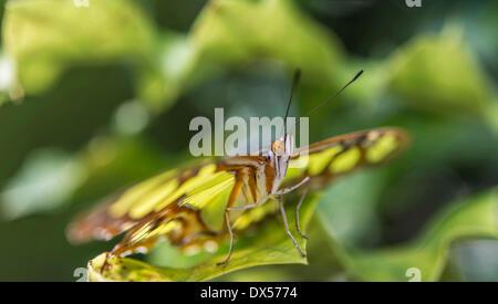 Malaquita (Siproeta stelenes), nativa de América del Sur, cautiva, casa de mariposas, un jardín botánico, Munich, Alta Baviera