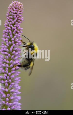 White-tailed Bumble Bee Veronicastrum sibiricum alimentándose de una flor en un jardín de Julio