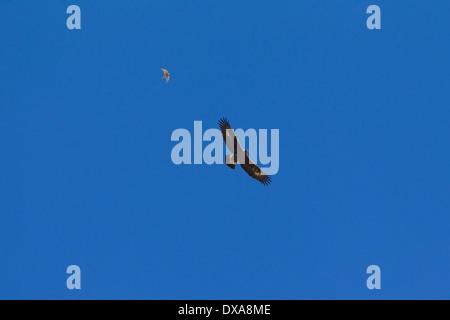 Europeos inmaduros Águila Real (Aquila chrysaetos) siendo aclamados por el cernícalo común (Falco tinnunculus) en vuelo