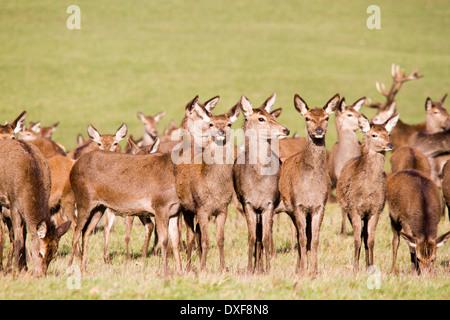 Windsor Great Park y el rebaño de ciervos rojos (Cervus elaphus, Berkshire, Inglaterra, Reino Unido.