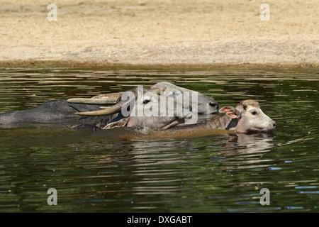 Los búfalos (Bubalus bubalis), grupo en el agua