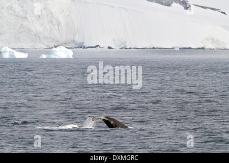 La Antártida BALLENAS JOROBADAS MEGAPTERA NOVAEANGLIAE Antártico. Casualidades de la ballena con un iceberg.