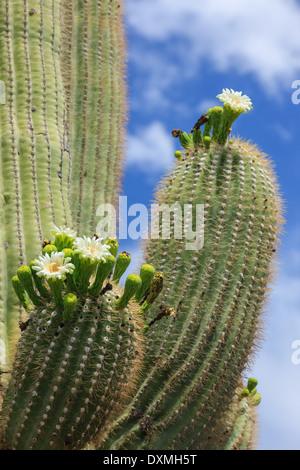Árbol de Cactus Saguaro National Park, Arizona, EE.UU.