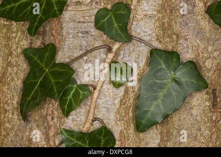 La hiedra común, Inglés Evy, hojas, hojas, Blatt, Blätter, Hedera helix, Lierre grimpant Foto de stock
