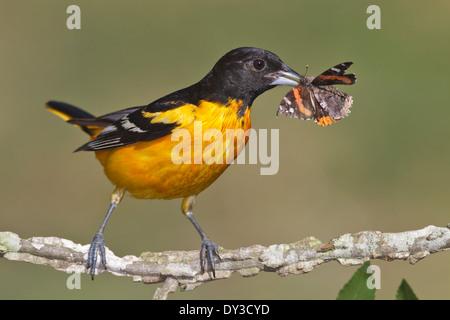Baltimore oriole - Ictericia galbula - macho adulto