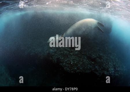 La foca monje hawaiana amenazadas, Neomonachus schauinslandi, sesiones de natación subacuática, North Shore, Oahu, Hawaii, EE.UU.