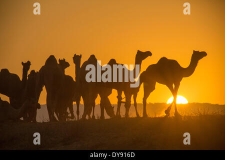 Pushkar Mela mercado de camellos camellos dromedarios Pushkar Rajasthan India Asia India mercado animal animales sundown atardecer