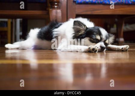 Chihuahua pelo largo dormir sobre un piso de madera, Stock Photo Foto de stock
