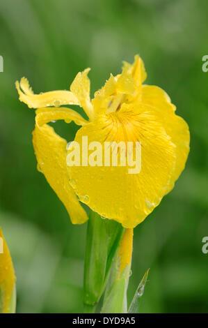 Bandera amarilla o Amarillo (Iris pseudacorus), flor, Renania del Norte-Westfalia, Alemania