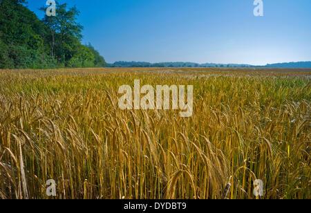 Un campo de cebada de maduración bajo un cielo azul claro.
