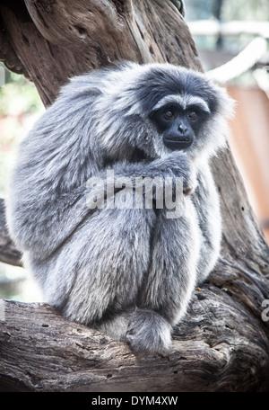Un aspecto alicaído Gibón plateado en un zoológico