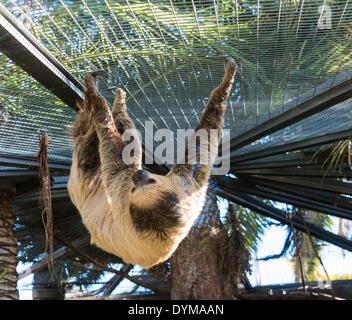 Linneo dos dedos cada sloth (Choloepus didactylus), cautiva