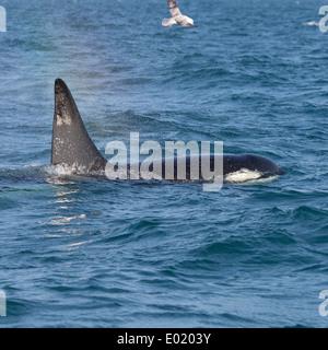 Orcas alimentándose de arenque en breidafjordur, Islandia