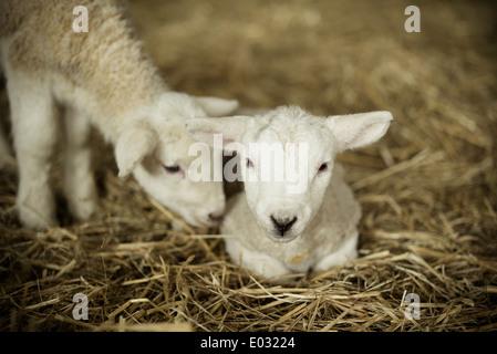 Corderos recién nacidos dos corderos blancos en una parición derramada.
