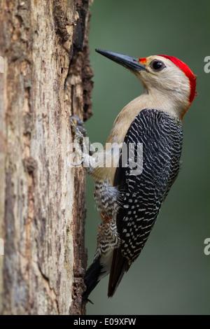 De fachada dorado macho Woodpecker (Melanerpes aurifrons)