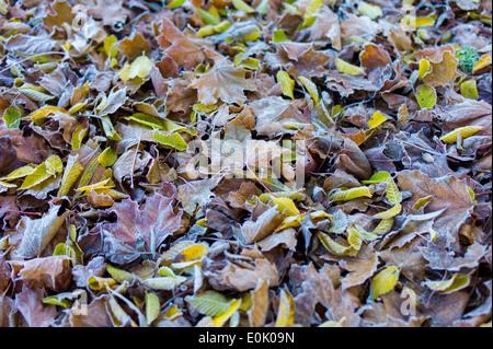 Frosty hojas sobre el piso del bosque en otoño, incluyendo bosques de hayas y sycamore leaf en Reino Unido
