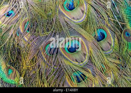 Las plumas de un pavo real (Pavo)