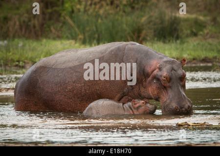 Hipopótamos en el Parque Nacional de Murchison Falls, Uganda, África Oriental.