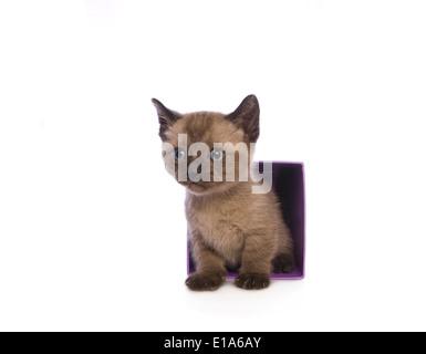 Lindo gatito Munchkin con cabeza grande saliendo del cuadro aislado sobre fondo blanco.