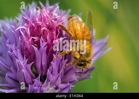 Abeja cordobés italiana (Apis mellifera ligustica), subespecies del oeste de las abejas (Apis mellifera), recogiendo el néctar de las flores