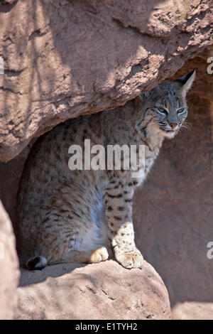 Lynx rufus, Arizona-Sonora Desert Museum en Tucson, Arizona, EE.UU.