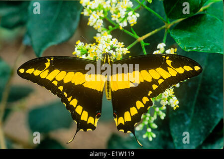 Thoas especie Butterfly (Papilio Thoas), vista dorsal, de Canadá a Panamá, Cuba