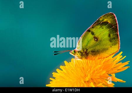 Comunes o nublado, mariposas de azufre (Colias philodice) vista ventral.