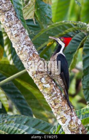 Carpintero crestado carmesí (Campephilus melanoleucos) posado en una rama en Ecuador.