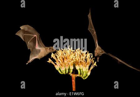 Menor de larga nariz (murciélago Leptonycteris yerbabuenae), alimentándose de Agave flor, Amado, Arizona. Este murciélago está clasificada como vulnerable.
